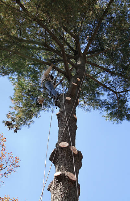 man climbing on top of tree assessing requirements for tree removal in in Battle Creek MI